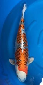0483-Dogama Jr-Dogama-Jakarta-hikarimoyomono-68 cm-female