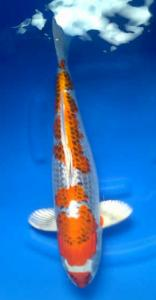 0482-Dogama Jr-Dogama-Jakarta-Hikarimoyomono-58 cm-female