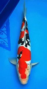 0055-kyudenkoi-kyudenkoi-Doitsu-45cm-male-jakarta