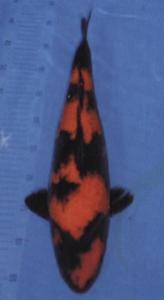0197-The Bardie-Tanggerang-plat ag-kediri-hi utsuri-74cm-female