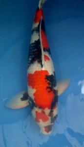 0160-dr Priche cibubur P&P cibubur Showa 53 male