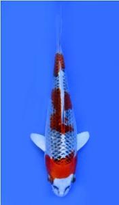 0351-Awi-Yamakoshi Indonesia-Jakarta-kujaku-15cm