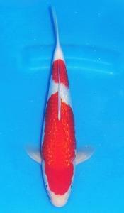 0107-David Fulbertus-Kupang-Twin Koi-Garut-Kinginrin A-39 cm