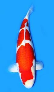0314-Kohaku 80 cm