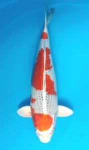 0686-Samuel Wosangara-jkt-new ayunawa-bogor-kujaku 49cm
