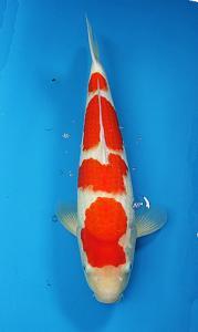 0064-kyudenkoi-kyudenkoi-Kohaku-45cm-female-jakarta