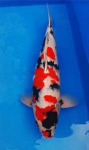 0070-kyudenkoi-kyudenkoi-Showa-60cm-female-jakarta