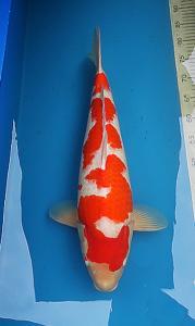 0066-kyudenkoi-kyudenkoi-Kohaku-60cm-female-jakarta