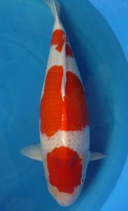 0284-Kohaku 80 cm