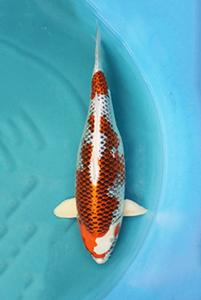 0423-Slamet Kurniawan Jkt-Nirwana koi Jkt-hikarimoyomono-65cm