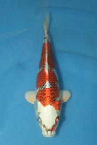 0625-ogata citra serpong-jakarta koi center-serpong-hikrimoyomono-27cm