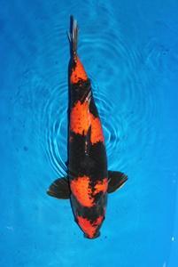 0382-Henry koesuma Trg-Nirwana koi Jkt-hiutsuri-52cm