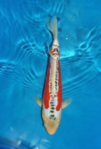 0358-Adi S Tgn-Nirwana koi Jkt-29cm