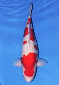 0317-Ginrin Kohaku 70 cm