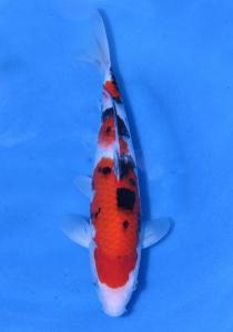 0649-HERRY DRAGON - SAMURAI - JOGJA - SANKE 30 CM
