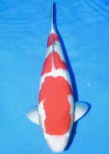 0155-dr Priche cibubur P&P cibubur Kohaku 59 male