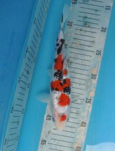 0195-The Bardie-Tanggerang-plat ag-kediri-ginrin A-23cm