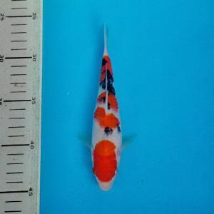 0158-dr Priche cibubur P&P cibubur Sanke 25.